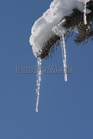 icicle na wiecznie zielone drzewo