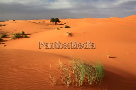 palma wydma maroko trawnik laka zielen