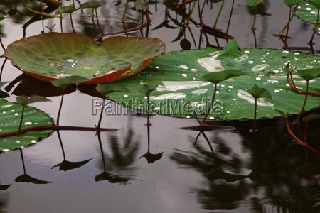 liscie lotosu