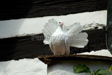 zwierzeta skrzydlo piora gluchy golabki golabki