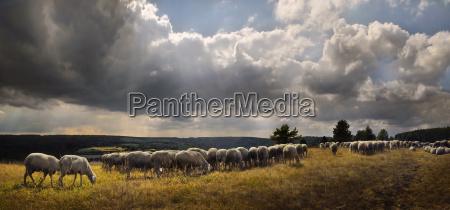 zwierze zwierze domowe owiec owca stado