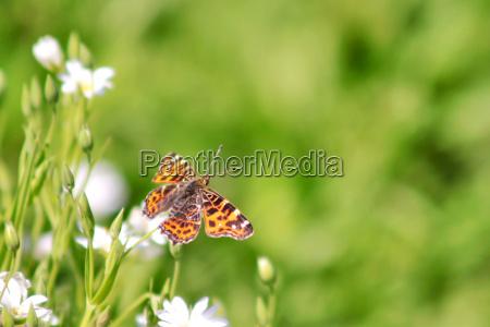 owad motyl falter natura