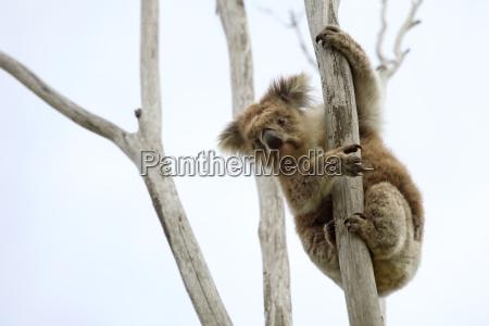 drzewo zwierze ssak dziczyzna dzika australia