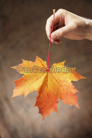 hand holding an autumn colored maple