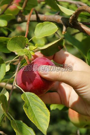 pionowe reczne zbieranie jablko z bliska
