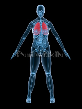 anatomia kobiet pluca