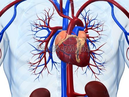 ludzkie serce