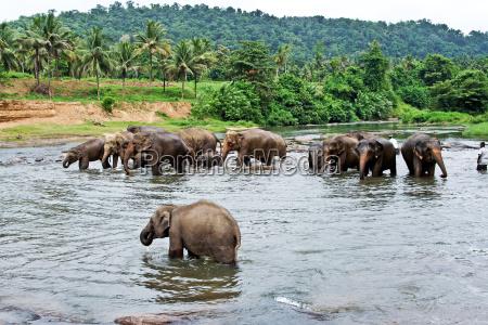 slonie wziac kapiel w rzece w