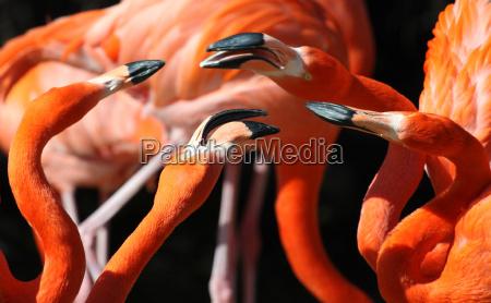 walka flamingow