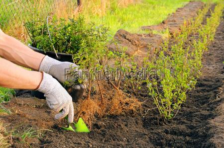sadzenie sadzic krzew busz zywoplot rosnac