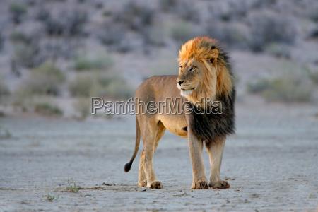 big samiec lwa afrykanskiego