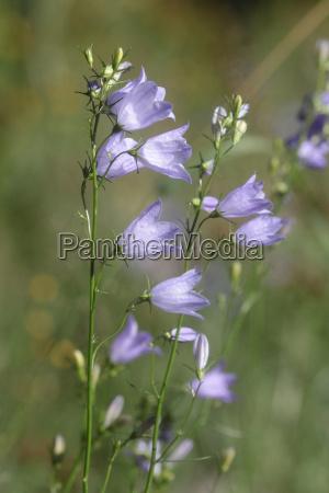 kwiat dzwon trawnik laka zielen wierzba