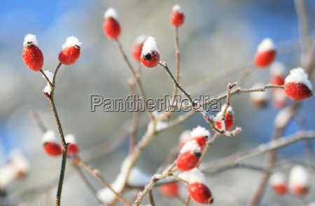 dzika roza zima