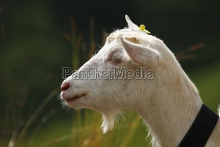 koza szwajcaria geiss ziegenbock ser kozi