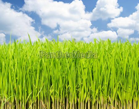 uprawy swiezej trawy