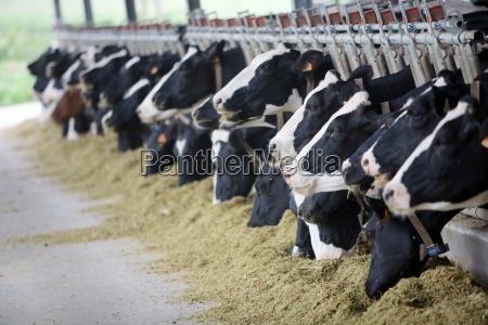 holstein krowy