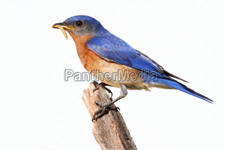 niebieski ptak dziczyzna dzika przyrody natura