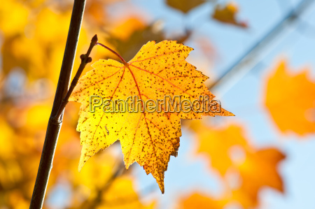 herbstfarben klon pazdziernik sezon yellow zolty