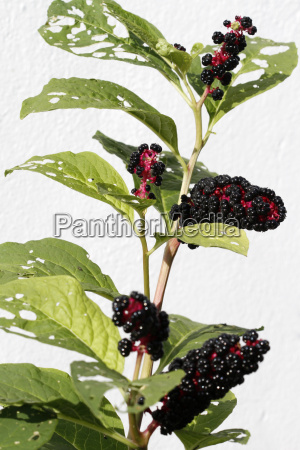 kermesberries