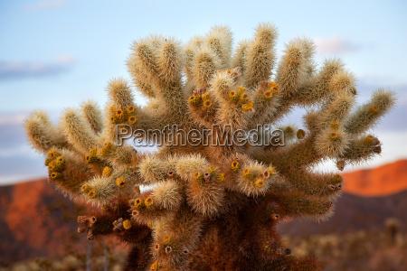 kalifornia kaktus california