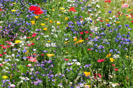 wildflower laka