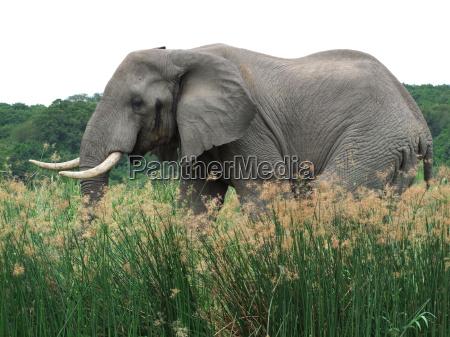 slon w ugandzie