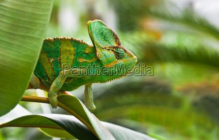 gad jaszczurka kameleon chameleons jemenchameleon chamaelio