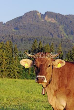 bayern bawaria rogi krowa bydlo skorka