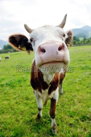 zwierze krowy na polu