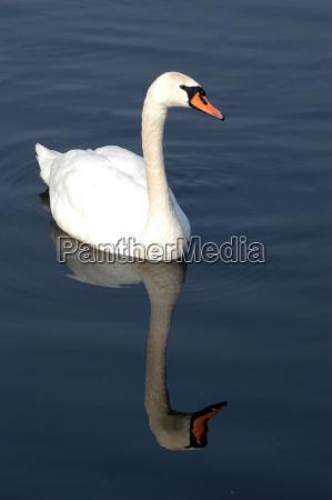 cisne fraco passaro passaros animais animais