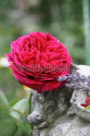czerwony angielski roza ze smokiem