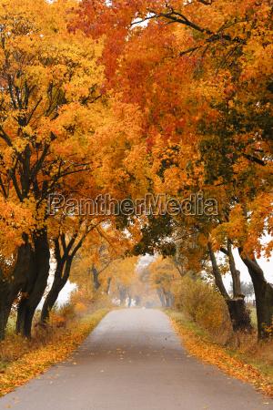 autumn klon drogowego