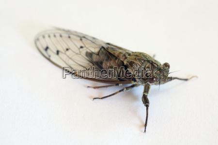 owad krykiet cykada cip singzikade cicadidae