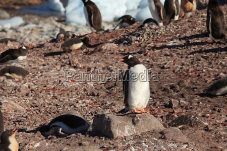 pingwiny osiol na antarktydzie