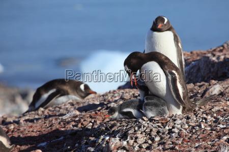gentoo pingwiny na antarktydzie