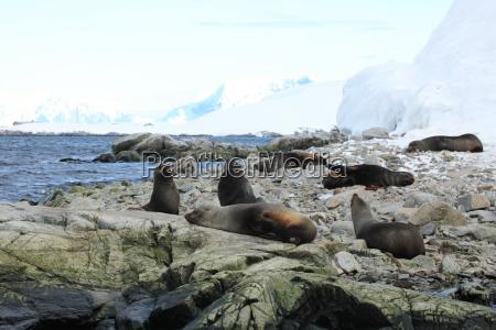 lwy morskie na antarktydzie