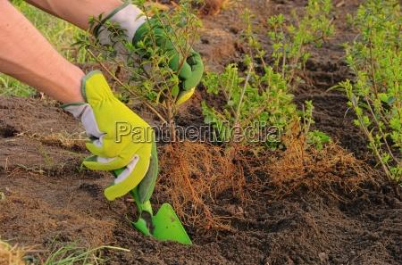 plant shrub bush hedge cultivate implant