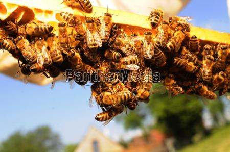 animais abelhas apicultura favo de mel