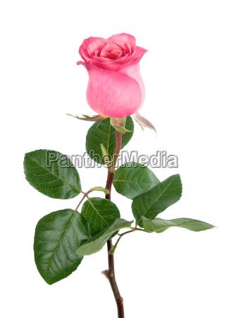 urocza roza w kolorze rozowym na