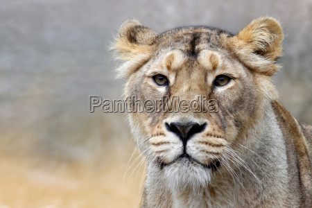 afryka zwierzeta zwierzatka lew kot kot