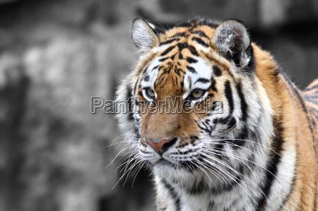 panthera tigris tygrys