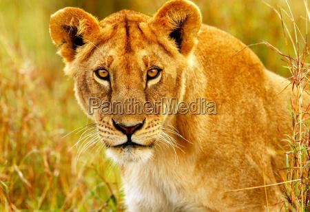 schoene wilde afrikanische loewin