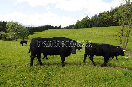 pastoreio angus rind vaca vacas rind