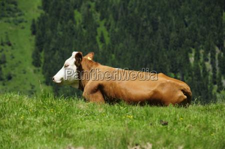 vaca bovino alpe salgueiro