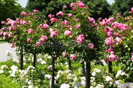 rozany kij z rozowymi rozami