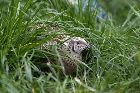 przepiorka w trawie