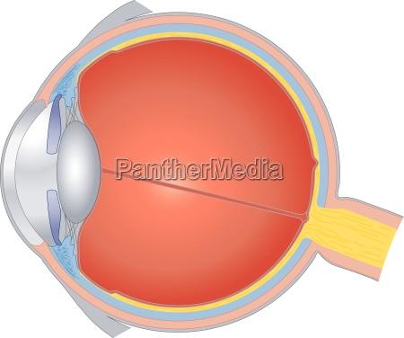 struktury ludzkiego oka