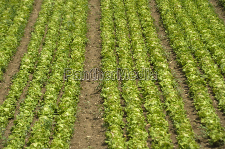 salatka warzywa wdzieku hakerzy uprawy zbiorow