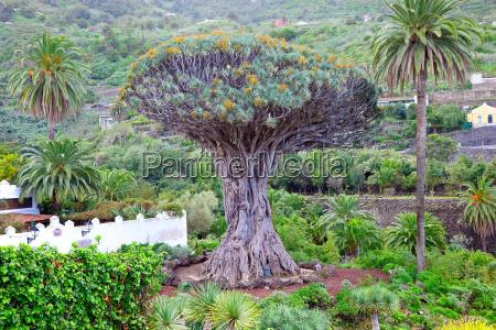 drzewo smok zawod roslina natura