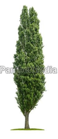 opcjonalne drzewo liscie lisciaste botanika topola